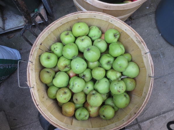 Just picked Granny apples